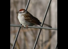 A Chipping Sparrow in Pinconning Township last week.                                                 --Courtesy Photo