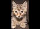 Chessie is a 4 month old beautiful brown and  orange tabby. She's spayed and up to date on vaccines.  She gets along with dogs, cats and kids. If interested call  989-894-0174.