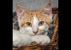 Colby is a handsome orange and white, 5 Month old boy. He gets along with dogs, cats and kids. He is neutered and up to date on vaccines. If interested call 989-894-0174.