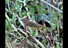 A palm warbler stops for a rest in Pinconning garden on his way from northern Michigan to the tropics for the winter.          --Courtesy Photo