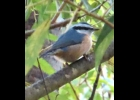 A Red-breasted nuthatch seen here near Pinconning in early October.                    --Courtesy Photo