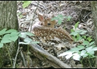 A new-born  Fawn is seen, hidden by it's mother, at McLean Nature Preserve recently.        				   --Courtesy Photo